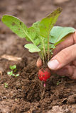 Hand pulling radishes in garden. Hands pulling radishes in vegetable garden, closeup Royalty Free Stock Photo
