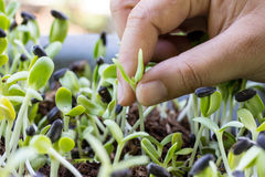 Hand pulling seedlings of plants. Royalty Free Stock Photos