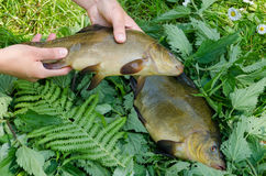 Hand put big shiny tench fishes on nettle. Hand puts nice big shiny tench on nettle next to other fish Stock Images