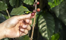 Hand putch coffee seed on branch of coffee tree stock photo