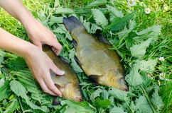 Hand puts on nettle big shiny tench fishes. Hand puts on nettle nice big shiny tench next to other fish Royalty Free Stock Photos