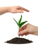 Hand putting a plant royalty free stock photo