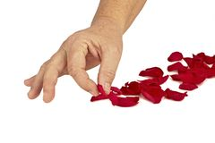 Hand putting rose petals Royalty Free Stock Image