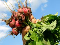 Hand with radishes. Fresh organic radishes in farmer hand Stock Images