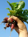 Hand with radishes Stock Image