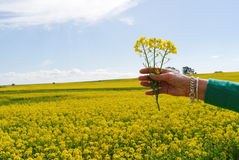 Hand raised on spring field of rape yellow flowers Stock Photography