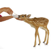Hand raising fawn Royalty Free Stock Photography