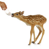 Hand raising fawn Stock Photography