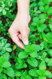 Hand reach mint. Leaf in field Royalty Free Stock Photography