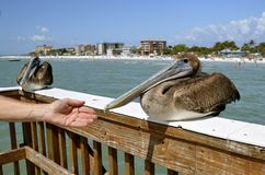 A hand reaches out to a sitting pelican Royalty Free Stock Photo