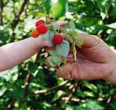 Hand reaches for a raspberry. Royalty Free Stock Photo