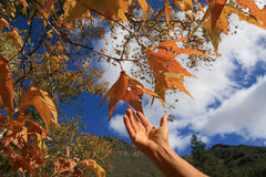 Hand reaching for Autumn Leaves. Hand reaching for multi colored Autumn Leaves Stock Photo