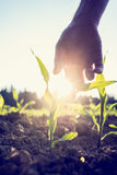 Hand reaching down to a young maize plant. Retro image of male hand reaching down to a young maize plant growing in an agricultural field backlit by a bright Royalty Free Stock Photos