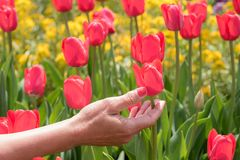 Hand reaching for red tulips stock photography