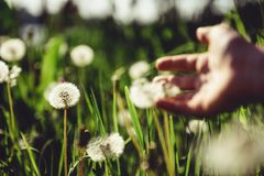 Hand reaching to dandelion. On the meadow stock image