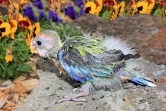 Hand reared baby Australian eastern Rosella Stock Images