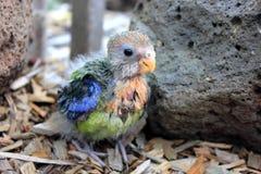Hand reared baby Australian eastern Rosella Royalty Free Stock Image