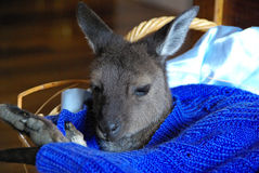 Hand-reared Joey Royalty Free Stock Photos
