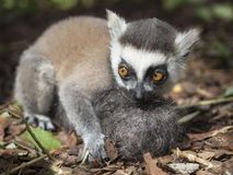 A hand-reared young ring-tailed lemur holds a hairball designed to be his mother. A hand-reared baby ring-tailed lemur holds a furball designed to substitute for Stock Image