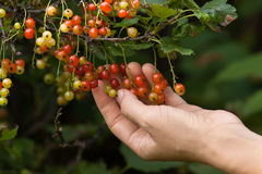 Hand with red currant Royalty Free Stock Photography