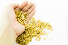 Hand releasing paddy rice Royalty Free Stock Photos