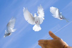 Hand releasing white pigeons. Persons hand gesturing, as if to release, three white pigeons with blue sky background Stock Photos