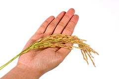 Hand and rice branch Stock Photography