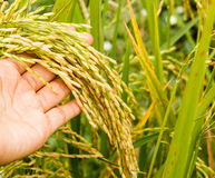 Hand with rice field. Heads are starting to turn as they ripen and mature Stock Photos