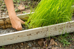 Hand in a rice seedling trough Royalty Free Stock Images