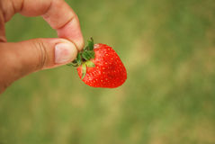 Hand with ripe strawberry Royalty Free Stock Image