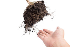 hand and Root Plant with soil Stock Photography