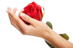 Hand and rose Royalty Free Stock Photo