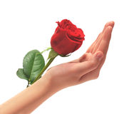 Hand and rose. Female hand and rose on a white background Royalty Free Stock Images