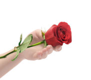 Hand and rose. Female hand and rose on a white background Stock Photo