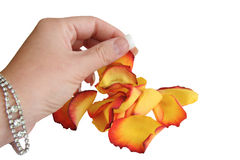 Hand and rose petals. Isolated on white stock images