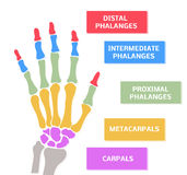 Hand's bones of human Royalty Free Stock Photo
