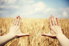 Hand's frame over the wheat field Royalty Free Stock Images