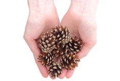 Hand's with pine cone on white background Stock Photos