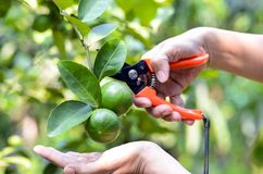 Hand with scissor harvested lime in organic orchard. Stock Image