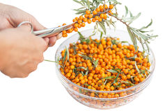 Hand with the scissors cuts the buckthorn Royalty Free Stock Images
