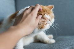 Hand scratch exotic shorthair cat. Man hand scratch exotic shorthair cat on gray sofa. Adorable pet relax in house living room. Human best friend Stock Photo