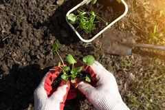 Hand seeding plants in garden in sunlight close up. New life concept. Farmer hands seeding young plant in the garden outdoor in spring stock photos