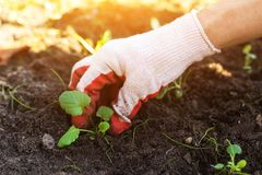 Hand seeding plants in garden in sunlight close up. New life concept. Farmer hands seeding young plant in the garden outdoor close up in spring stock image