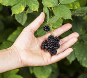 Hand Selected Blackberries Stock Photography