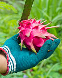 Hand selecting dragon fruit from garden Royalty Free Stock Images