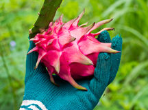 Hand selecting dragon fruit from garden Royalty Free Stock Photos