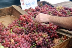 Hand selecting Fresh Grapes for sale stock photo