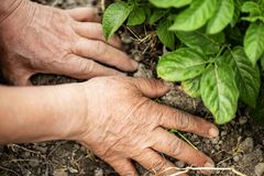 The hand of the senior makes the soil of the field. royalty free stock image