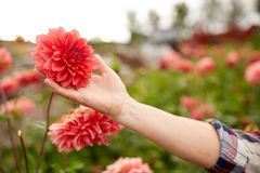 Hand of senior woman with flowers at summer garden Royalty Free Stock Photo