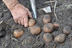 Hand of senior woman, picking ripe potato Stock Image